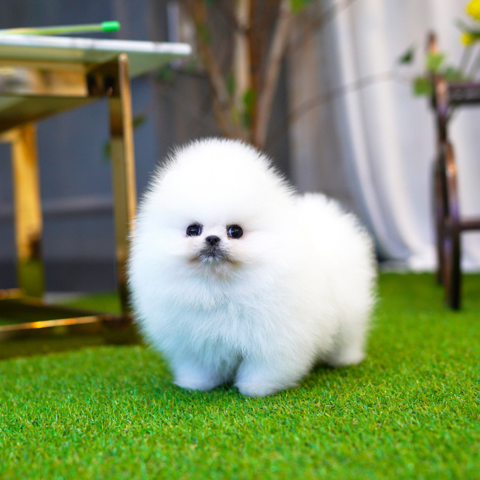포메라니안(Pomeranian)