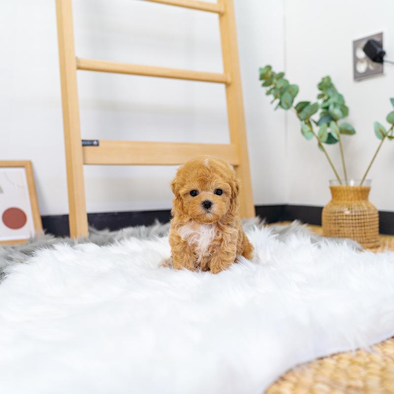 토이푸들(Toy Poodle)